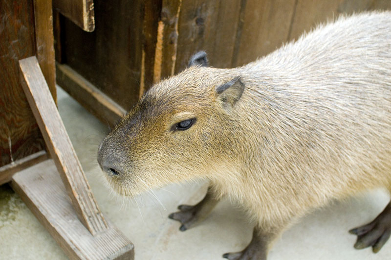 Capybaras Are Getting Big In Japan